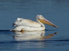 American White Pelican (Explored 09/24/2017) (timber1212) Tags: ebparksok coyotehills fremontca california marsh bird american white pelican