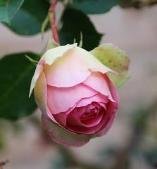 Eden Rose (LuckyMeyer) Tags: rose garden summer flower fleur rosa pink white