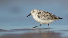 Sanderling (cliveyjones) Tags: sanderling wader shorebirds burnhamoverystaithe norfolk