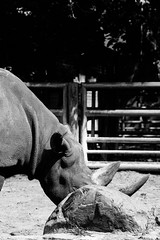 Hidden II (rhino in Berlin Zoo, Germany) (Steffen Kamprath) Tags: apsc africa afrika afrique alemanha alemania allemagne animal attraction availablelight bw berlim berlin berlina berlino blackwhite city crop day detail deutschland environmentalportraiture europa europe fragment germania germany hardcontrast landmark light minimal minoltamc25100 minoltamctelerokkor100mm125 minoltamctelerokkor100mmf25 minoltamctelerokkor125f100mm mirrorless monochrome nature nopeople outside sight sonya6000 spot sunny tourism traveldestination urban urbangeometry urbanlandscape urbanlife natural áfrica