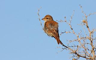Red-backed Shrike (juvenile)