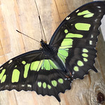 Malachite Butterfly thumbnail