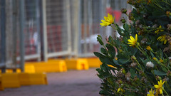 Yellow Daisies (Theen ...) Tags: adelaide base bricks bush carpark clownshoes daisy feet fence flower footpath green hackneyroad hayfever lumix metal nationalwinecentre orange plastic red spring temporary terracotta theen traffic weeds yellow zincalume