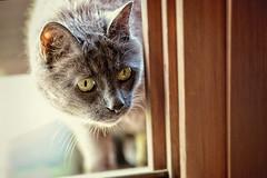 36/52❤ (clo dallas) Tags: pet feline teo cat 5dmarkiii window finestra 52weeksproject