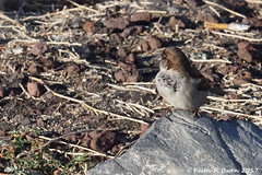 House Sparrow (Passer domesticus) (youngwarrior) Tags: biggs oregon bird sparrow housesparrow passerdomesticus