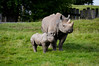 Black Rhinoceros (Diceros bicornis) (Seventh Heaven Photography) Tags: rhinoceros animal mammal rhino kitani mother baby hazina calf chester zoo cheshire england black dicerosbicornis diceros bicornis magadi father