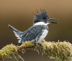 ND5_7654.jpg Kingfisher Chirping (Wayne Duke 76) Tags: birds beltedkingfisher male feathers fisheater