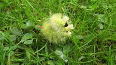 Pale Tussock catapillar (hedgehoggarden1) Tags: paletussock catapillar insect nature wildlife gardenwildlife lawn creature canonpowershotsx50hs bridgecamera norfolk eastanglia uk