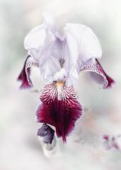 Dreams of a Summer Past (SteveFrazierPhotography.com) Tags: iris plant flower perennial petals beautiful artistic colchester illinois mcdonoughcounty il usa stevefrazierphotography blossom