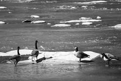 Geese in BW (ChristianRock) Tags: pentax k10d k10 takumar bayonet kmount k 135mm 135 f28 28 manual focus vintage lens chattahoochee river
