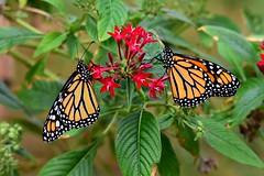 Butterflies DSC_0772 (blthornburgh) Tags: monarchdanausplexippus monarch milkweedbutterfly butterfly blackveinedbrown orange wings