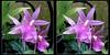 Longwood Gardens Flowers 10 - Parallel 3D (DarkOnus) Tags: pennsylvania bucks county panasonic lumix dmcfz35 3d stereogram stereography stereo darkonus longwood gardens flowers scenic scenery flower botanical garden orchid orchids parallel