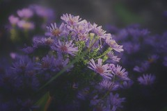 Soft (Nige H (Thanks for 12m views)) Tags: nature flowers lilac soft softfocus sunlit sunlight