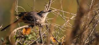 Northern Mockingbird Los Liones Canyon Los Angeles 094