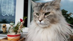 sooc s7smartphone s7 mainecoon miezigracesilvana... (Photo: eagle1effi on Flickr)