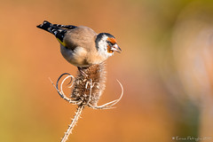 Chardonneret élégant (DorianHunt) Tags: birds bokeh goldfinch yverdon switzerland october 2017 nikond500 sigma 150600mm