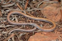 Bronzeback (Ophidiocephalus taeniatus) (shaneblackfnq) Tags: bronzeback ophidiocephalus taeniatus shaneblack legless lizard reptile pygopod coober pedy south australia arid outback