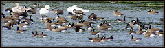 BIRDS OF A FEATHER, FLOCK TOGETHER (Gary Post) Tags: birdsofafeather flocktogether canadian geese and swans