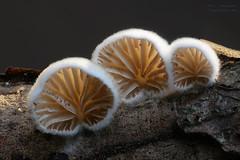 glowing in the dark (Olaf Traumflieger) Tags: stummelfüschen oysterling crepidotus leuchtpilz