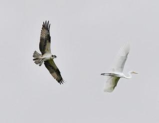 Osprey Chasing an Egret