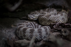 Rattlesnake Portrait (yannha) Tags: nature hiking trail wildlife animal snake rattlesnake portrait closeup outdoor usa utah travel ngc