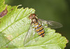 Marmaldae Fly - Episyrphus balteatus (Prank F) Tags: wicksteedpark kettering northantsuk wildlife nature insect macro closeup fly hoverfly marmalade episyrphusbalteatus