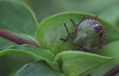 Specie: Nezara viridula (Brazil) (Arlei Antunes) Tags: arleiaj arleiantunes arlei antunes canont5 canon 1855mm santamariars riograndedosul inseto besouro verde macro natureza nature fauna