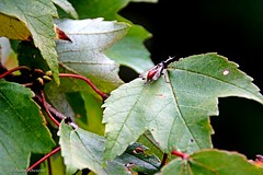 Wasp on Maple Leaf (Anne Ahearne) Tags: maple leaf insect bug wasp black red braconid nature ichneumon