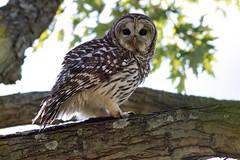Barred owl (Lynn Tweedie) Tags: owl bird talons tree branch bark wood brown leaves green barred feathers eyes hoot forest black ncg beak blood tail raptor