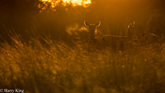 Red Deer Blowing Mist In The Sunrise! (hharry884) Tags: earlymorning female does orangelighting outdoors nature photography cold mist sunrise deer red wildlife