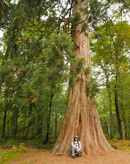 "Giant Sequoia, New Forest (Chris ""Donny"" Donohoe) Tags: giant sequoia redwood trees forest newforest"