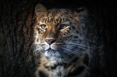 Amur amour (10000 wishes) Tags: leopard bigcat portrait feline fur whiskers predator wildlifephotography beauty