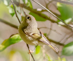 Ruby Crowned Kinglet (tresed47) Tags: 2017 201710oct 20171017bombayhookbirds birds bombayhook canon7d content delaware fall folder kinglet october peterscamera petersphotos places rubycrownedkinglet season takenby us warbler