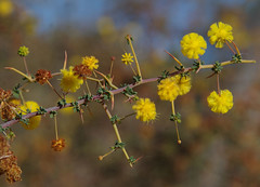 Acacia pulchella var glaberrima, Toolibin, east of Narrogin, WA, 15/09/17 (Russell Cumming) Tags: plant acacia acaciapulchella acaciapulchellaglaberrima mimosaceae toolibin narrogin westernaustralia