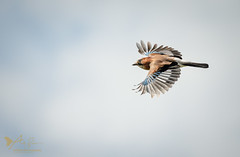 Jay (ABPhotosUK) Tags: animals birds canon corvidae crows dartmoor devon ef100400mmisii eos7dmarkii garrulusglandarius inflight jay seasons spring springwatch wildlife