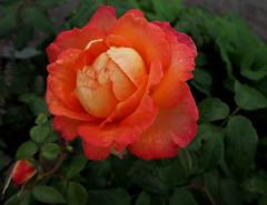 """Rosa """"Good Life"""" (tgrauros) Tags: göteborg gothenburg konungariketsverige roserar roses suècia sverige sweden trädgårdsföreningen societatdhorticulturadegöteborg rosas taronja orange rosariet therosegardenofgothenburg göteborgsrosarium"""