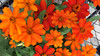 red closter (d james barr) Tags: cluster flower flowers red black green group bunch fullbloom