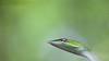Mr.Green (prashantadkoli) Tags: greenvinesnake wildlife snake green nature indian reptile india zeissmacroplanar makroplanart2100 macro