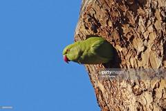Ring-necked parakeet (Gary Chalker, Thanks for over 3,000,000. views) Tags: ringneckedparakeet parakeet parrot bird pentax pentaxk3ii k3ii sigma500mmf45exdg 500mmf45exdg 500mm