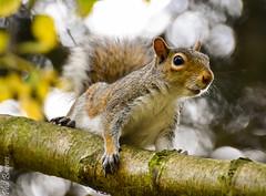 Parkwood Squirrel after being annoyed by a cat! (philbarnes4) Tags: greysquirrel parkwood rainham kent england branch philbarnes animal rodent dslr nikond5500 wildlife