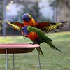 Lorikeets (Jane_L_Impressions) Tags: wings feathers lorikeets colourful birds
