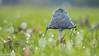 Mushrooms-8 (niekeblos) Tags: mushroom inkfungus nature dew bokeh canon60d macro