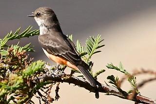 Vermilion Flycatcher (HY)