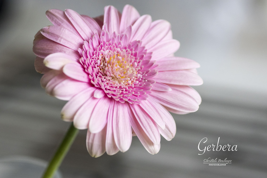 The World S Most Recently Posted Photos Of Fleur And Gerbera