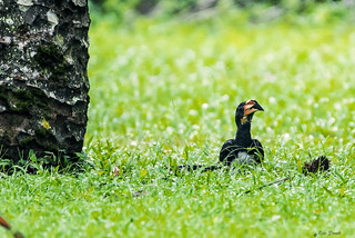CALAO NELL' ERBA.   ----    HORNBILL ON THE GRASS