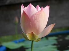Nelumbo nucifera 'Boli Gongzhu' Lotus Wahgarden Thailand 12 (Klong15 Waterlily) Tags: nelumbo nelumbonucifera lotus thaillotus chainalotus pinklotus pond lanscap flower lotusflower