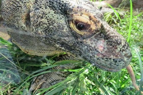 Komodo Dragon, head, Alligator Fram, St. Augustine, FL IMG_0254