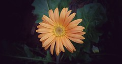 Sweet Daisy , fam.astraceae. (amrelshazly535) Tags: flower wildflowers daisy orange outsides outdoors colorful colours natural