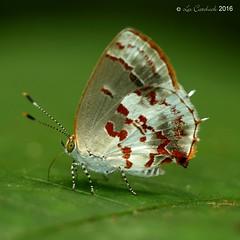 Ministrymon arthuri (LPJC) Tags: villacarmen butterfly manu peru 2016 lpjc ministrymonarthuri raynox
