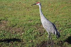 IMG_3550 (Usagi93190) Tags: lake mirror hollis garden central florida lakeland park outdoors bird